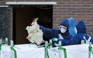 Medewerkers van de Nederlandse Voedsel- en Warenautoriteit ruimen de kippen. Beeld ANP