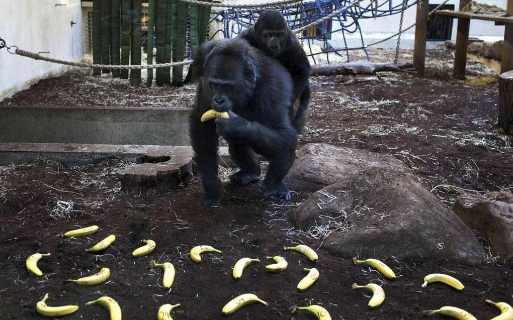 Gorilla Jacko.beeld RD