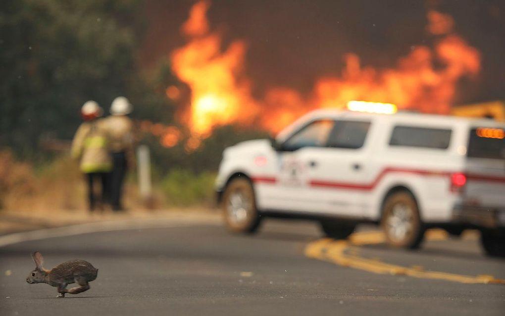 Een konijn vlucht weg voor het vuur in Californie. beeld AFP, SANDY HUFFAKER