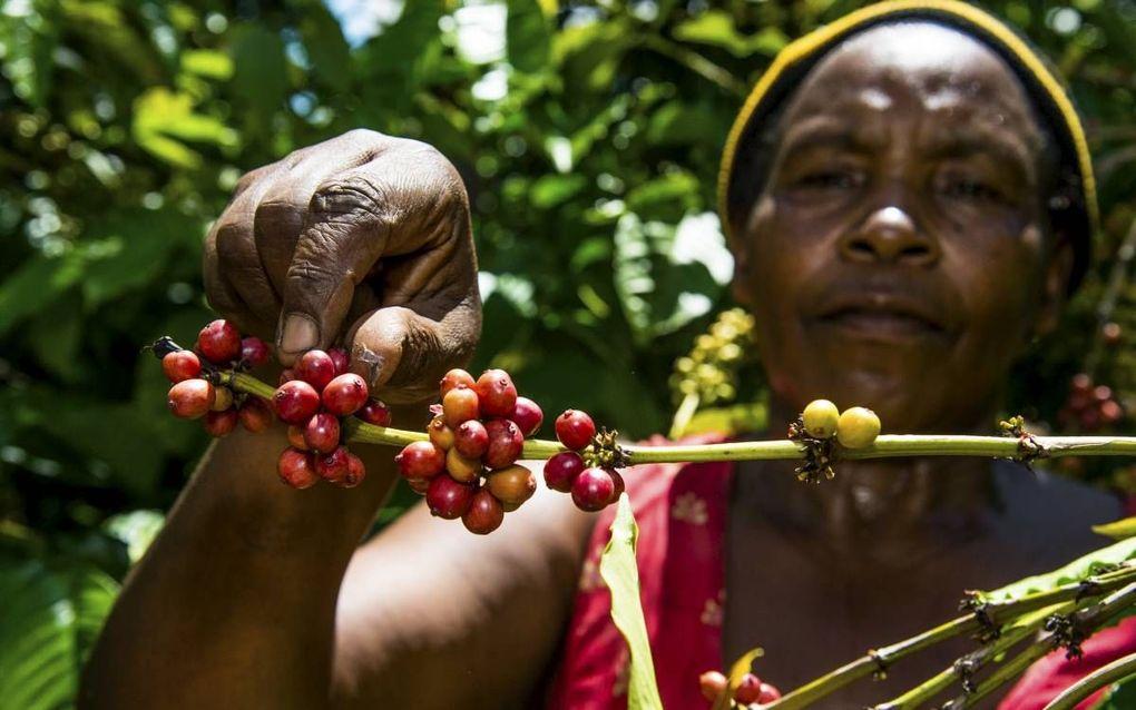 Koffieboerin Molly Koyekyemga (71) is trainer bij de door de Rabobank Foundation ondersteunde coöperatie ACPU in Inshaka (Uganda).beeld Rabobank Foundation