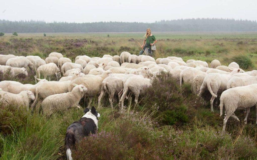 Christien Mouw met haar kudde op de heide. Schapenboeren hebben niet alleen gevaar te duchten van de wolf, maar meer nog van loslopende honden. beeld RD, Anton Dommerholt