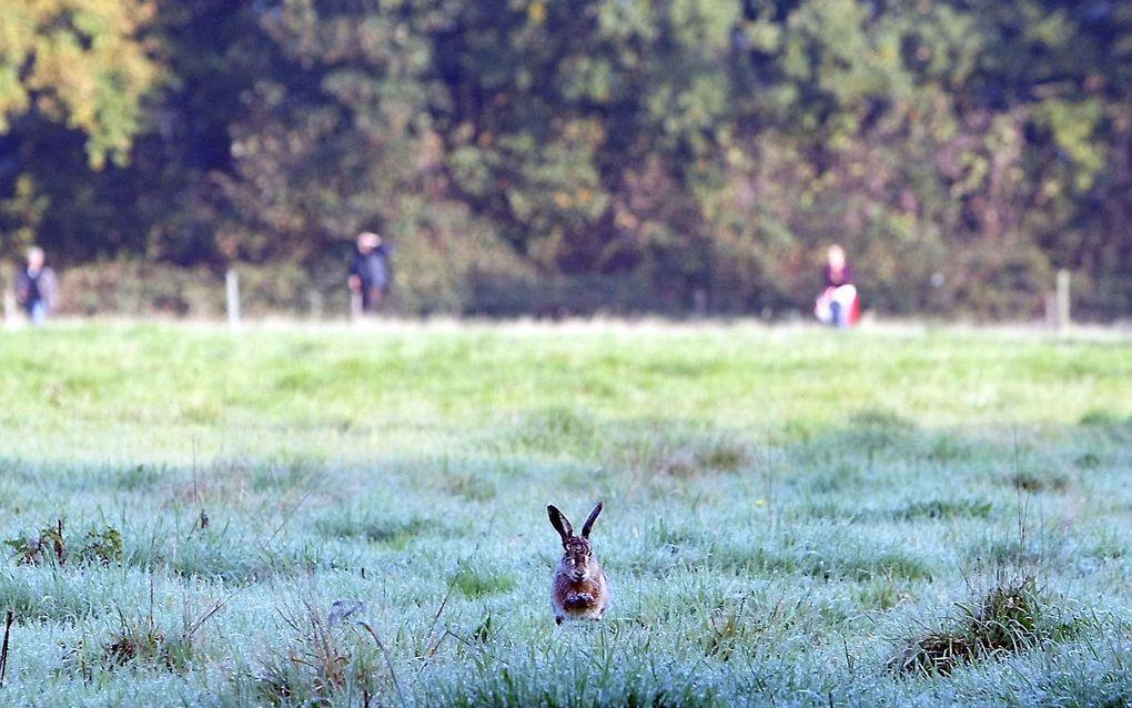 Het gaat slecht met voorheen heel algemeen voorkomende dieren als hazen, konijnen en eekhoorns. beeld ANP, Vincent Jannink