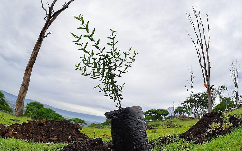 Bomen planten voor zoekopdrachten: het is een vorm van hedendaagse boetedoening. beeld AFP, Michael Tewelde