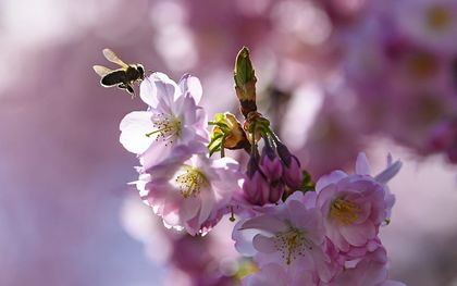 Op veel plaatsen staan prunussen in volle bloei. Deskundigen denken dat de invloed van het weer op de verspreiding van het coronavirus beperkt is.beeld EPA, Anthony Anex