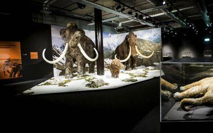 Geneticus Church bouwt DNA van een Aziatische olifant om naar DNA van de uitgestorven mammoet. De toegevoegde genen coderen onder meer dicht haar en een vetlaag.beeld ANP, Remko de Waal