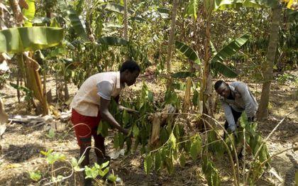 De landbouw in Uganda heeft te lijden van klimaatverandering: extreme regenval en periodes van grote droogte. Daardoor dalen de opbrengsten.beeld Julius Onen