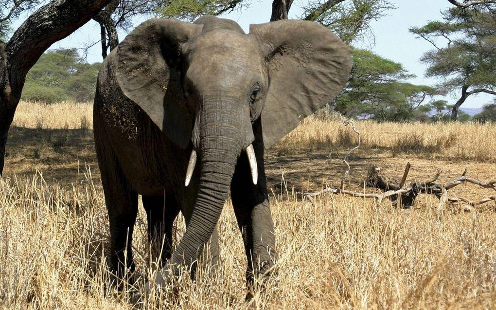 """""""Naast dat de natuur ons begrenst, levert ze ook oplossingen. Bijvoorbeeld de slurf van een olifant die als voorbeeld dient voor een nauwkeurige robotgrijper."""" beeld Wikimedia"""