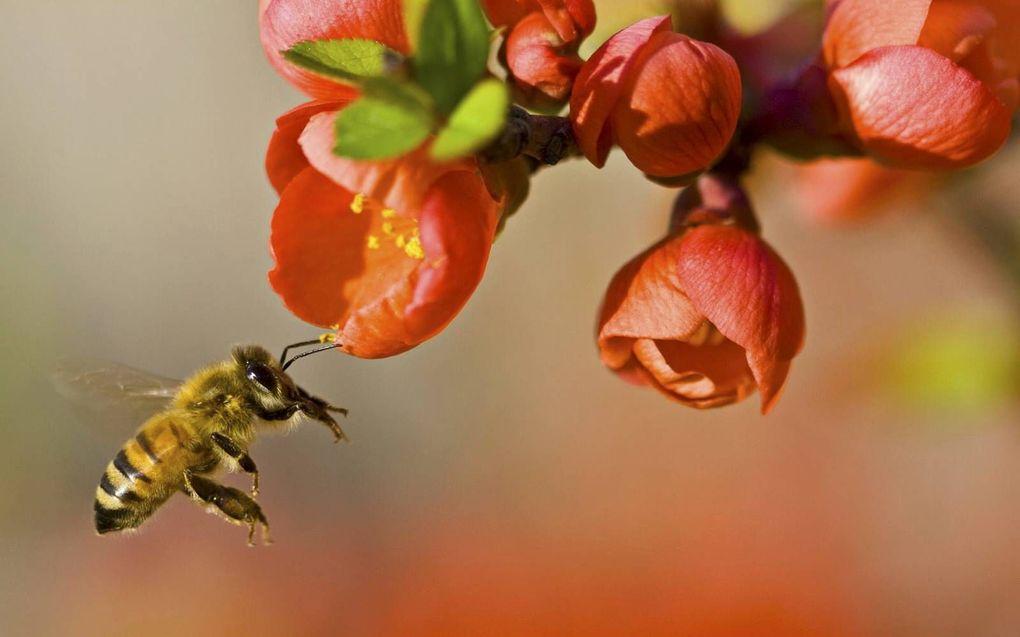 Bijen zijn belangrijk voor onder andere de fruitteelt. beeld Wikimedia
