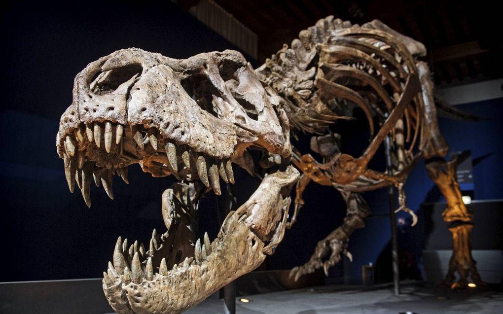 Over de hele wereld graven paleontologen dinosauriërbotten op. Foto: De Tyrannosaurus rex van natuurhistorisch museum Naturalis in Leiden luistert nar de naam Trix.beeld ANP, Marten van Dijl