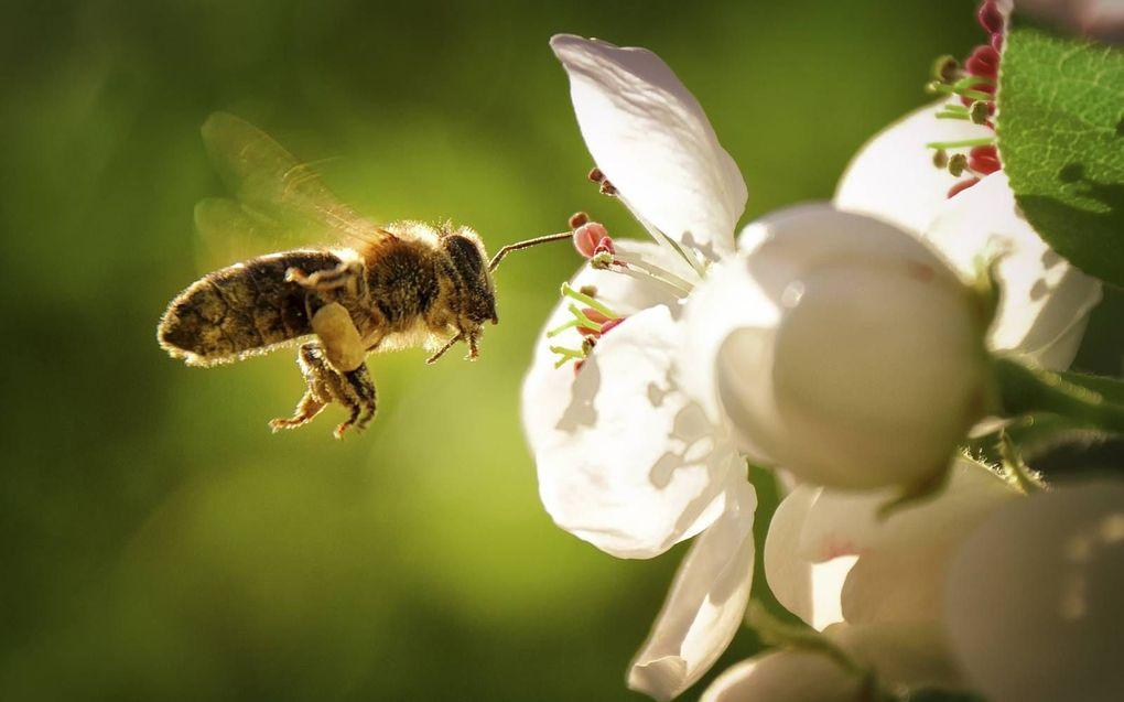 Een honingbij snoept van een bloemetje en loopt daarbij onbedoeld een portie stuifmeel op. Een mondkapje biedt gedeeltelijke bescherming tegen corona én tegen stuifmeel. Hooikoortspatiënten zouden daar baat bij kunnen hebben.beeld iStock