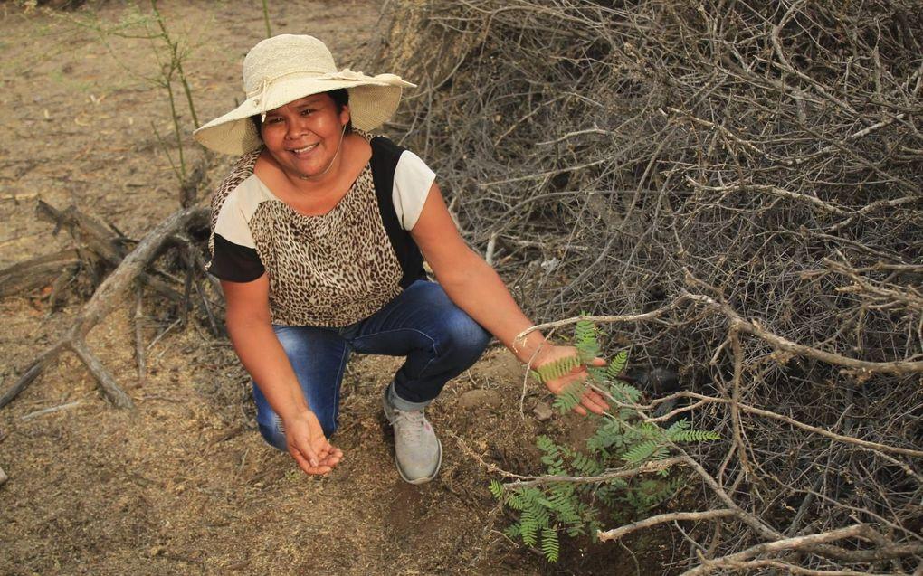 Iemand van de lokale bevolking in Peru plant bomen aan in de droge kustzone van het Zuid-Amerikaanse land.beeld A Rocha Peru