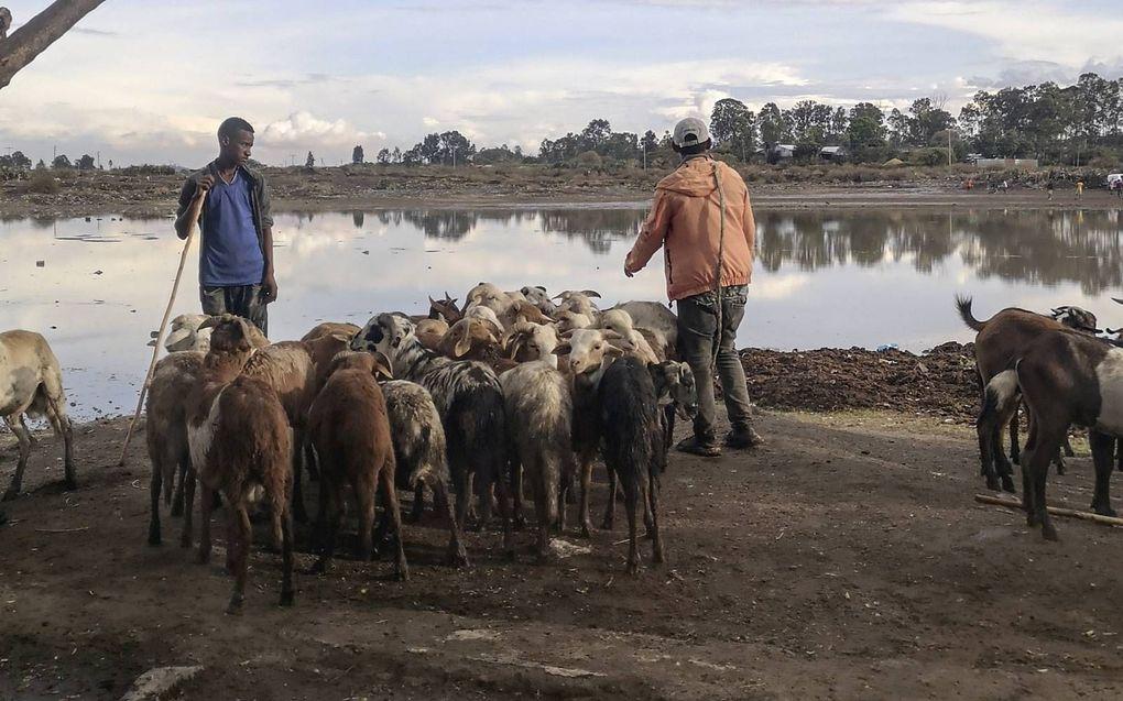 Vee is voor veel arme Ethiopiërs veel meer dan een tijdelijk bezit. beeld Jilke Tanis