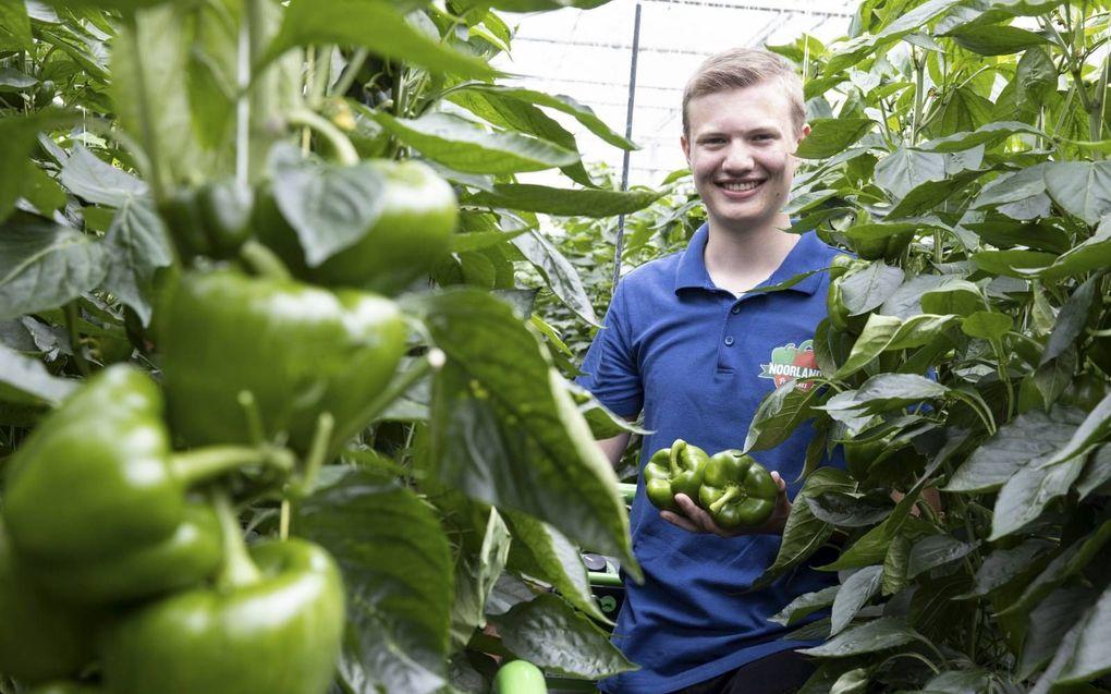 Auke Bos verricht verschillende werkzaamheden in de tomatenkassen van zijn werkgever in IJsselmuiden.beeld RD, Anton Dommerholt
