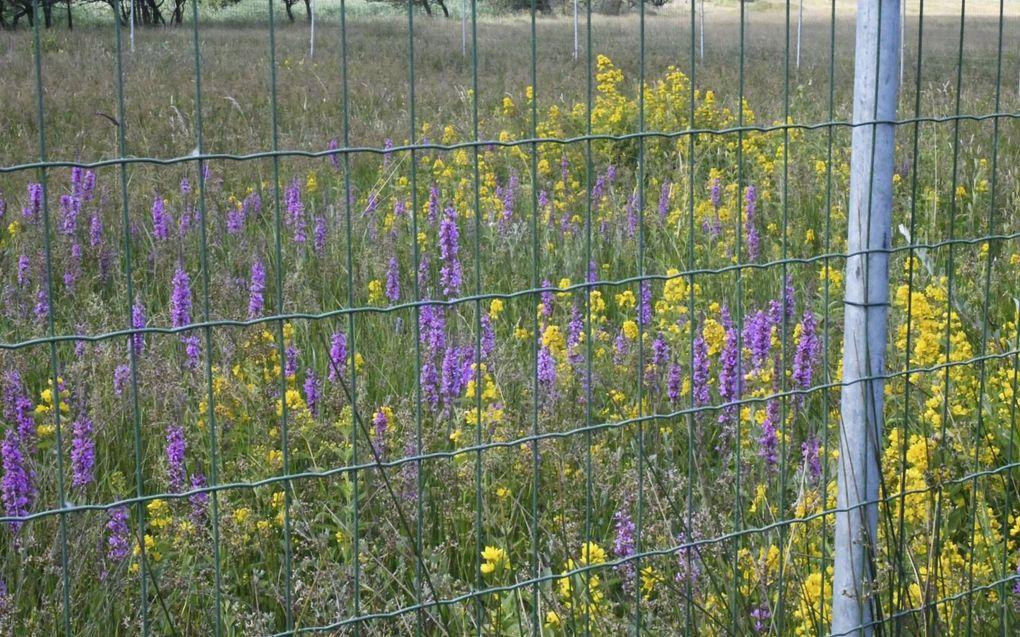 Afgeschermd door een hek bloeien grote wederik en kattenstaart.beeld Theo Haerkens
