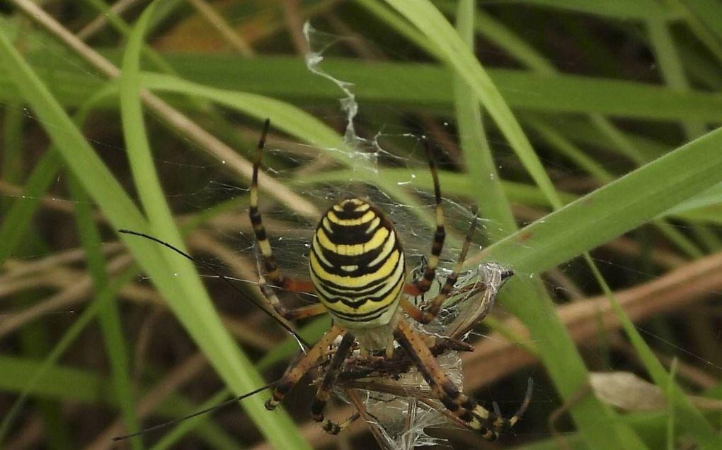 De wespspin (tijgerspin) rukt op naar het noorden. Foto: wespspin met langpootmug.beeld Kees van Reenen