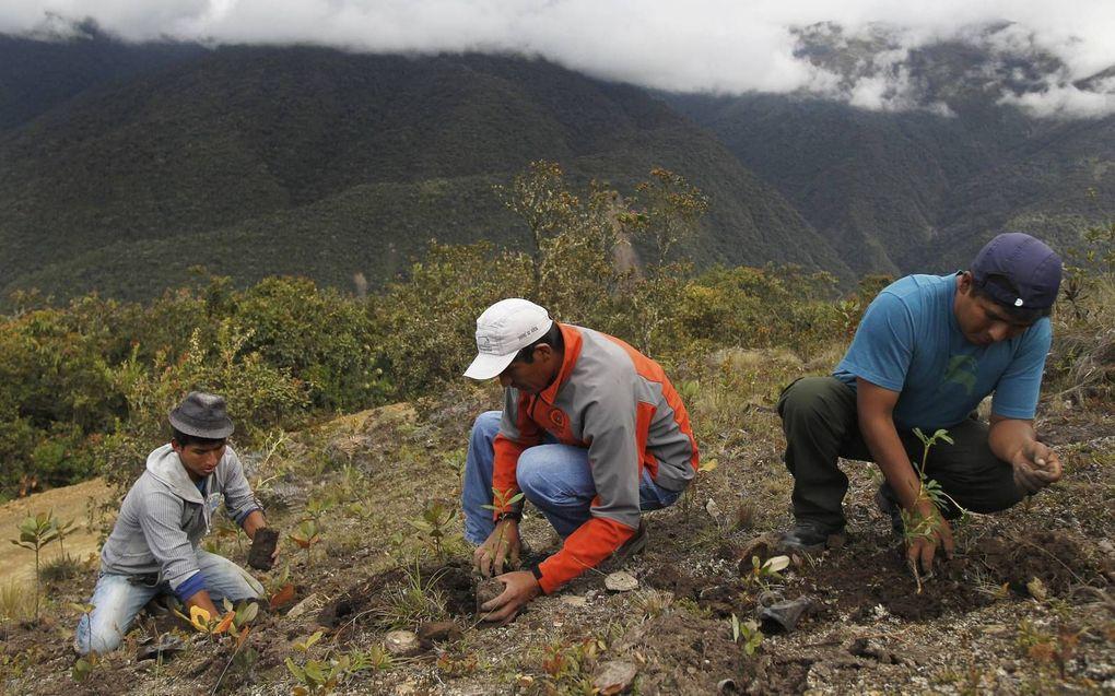 Bosbouwers planten in Peru nieuwe boompjes aan. Bosaanplant is een van de grootste bondgenoten tegen klimaatverandering. beeld Reuters, Enrique Castro