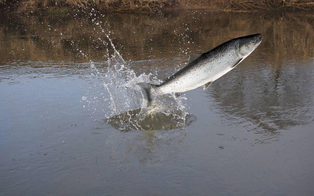 Een zalm leeft vooral in zee, maar keert terug naar de geboorterivier om zich voort te planten.beeld iStock