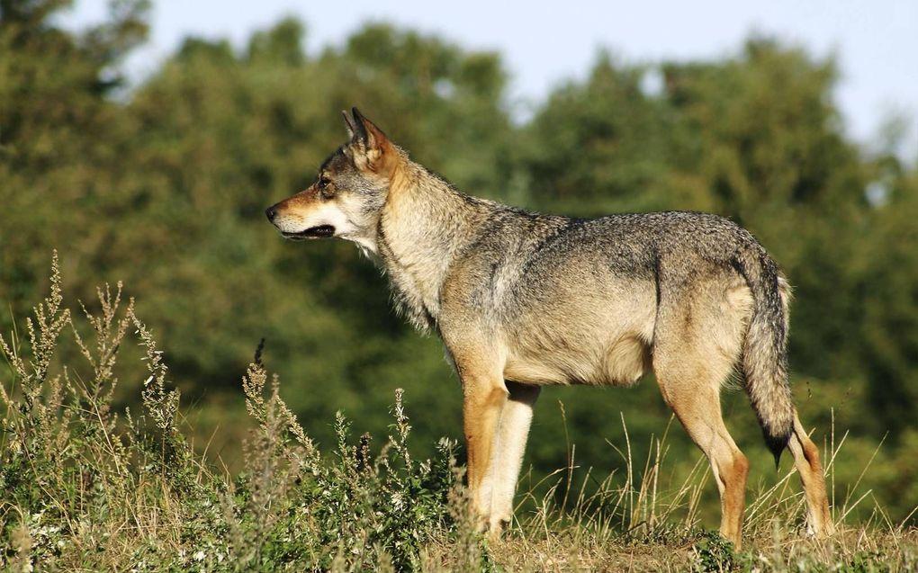 De winter is het seizoen waarin veel jonge wolven vanuit Duitsland Nederland binnenkomen.beeld Wikimedia
