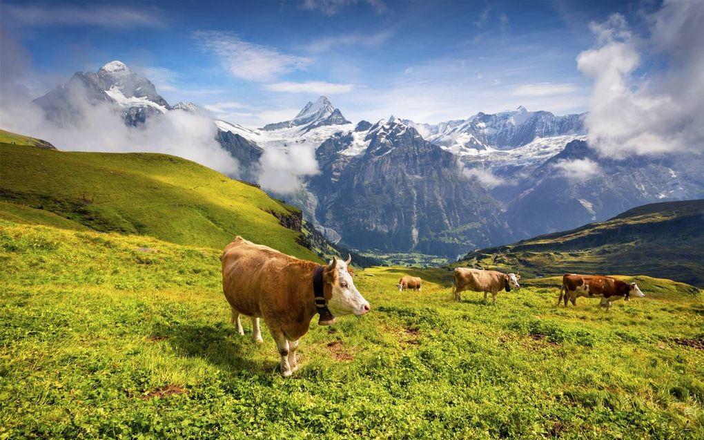 Koeien in het Zwitserse Grindelwald. Kinderen die in bergdorpjes rauwe melk drinken, hebben minder last van allergieën en virusinfecties.beeld iStock