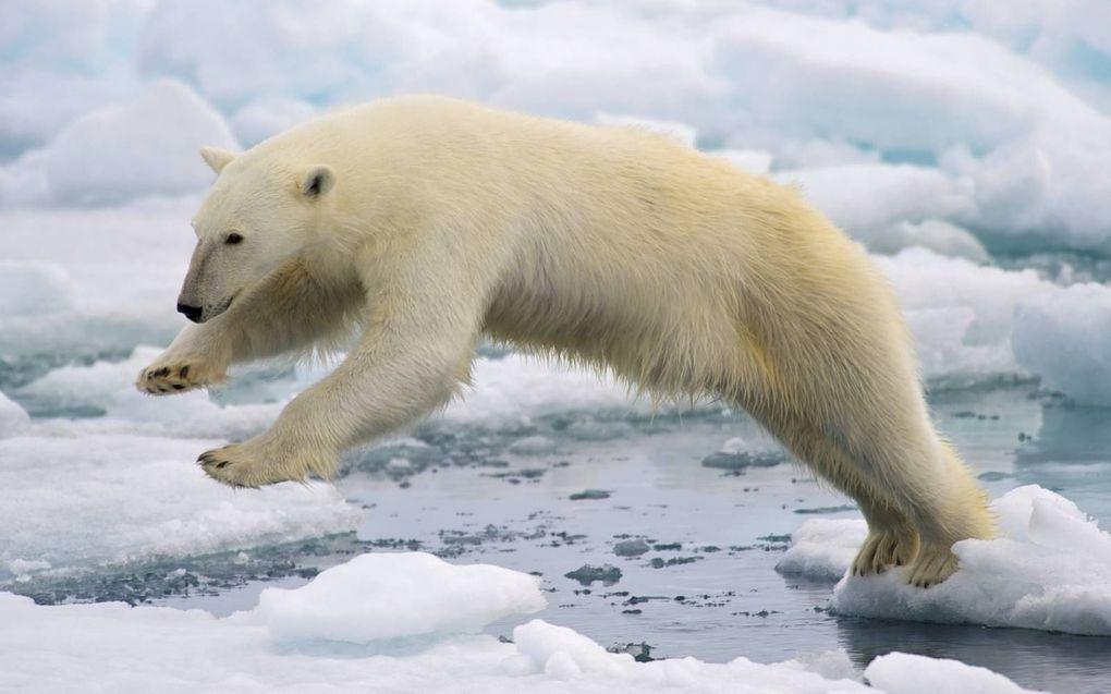 Door de klimaatverandering kan de ijsbeer in 2100 zijn uitgestorven.beeld Wikimedia