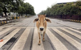 De koe heeft in India een heilige status. Radicale hindoes verenigen zich in knokploegen om het dier te beschermen.beeld EPA, Harish Tyagi