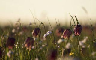 Kievitsbloemen in natuurgebied de Brommert bij Hasselt. beeld Jaco Hoeve