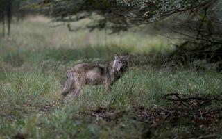 Nederland is een diersoort rijker, de wolf, maar andere soorten verdwijnen juist.beeld Otto Jelsma