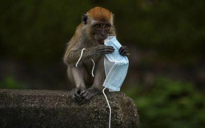 Ook in Maleisië veroorzaken mondkapjes een bedreiging voor de natuur. Een makaak speelt met een masker, maar kan met zijn poten makkelijk verstrikt raken in de elastieken ervan. beeld AFP, Mohd Rasfan