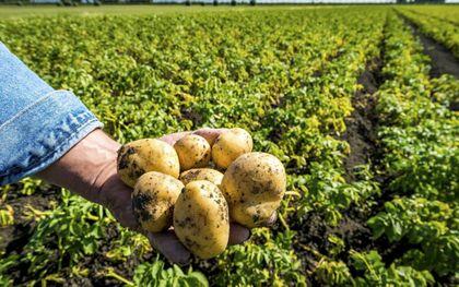 In de kurkdroge zomer van 2018 viel de aardappeloogst flink tegen. Tegenvallende oogsten passen bij klimaatverandering.beeld ANP, Lex van Lieshout