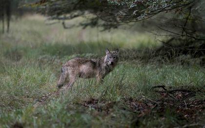 Het is de kunst om de perspectieven op het landschap op een goede manier met elkaar te verbinden zonder een harde grens tussen het ene en het andere belang te trekken. Juist in het erkennen van de eigenheid van bijvoorbeeld de wolf is het mogelijk tot aanpassingen te komen waar zowel de schapenhouder als de wolf mee gediend is.beeld ANP, Otto Jelsma