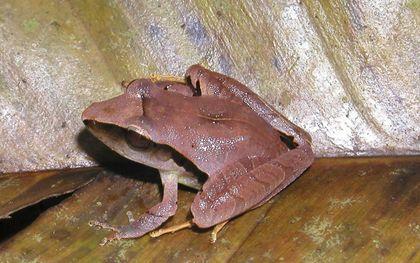 De Craugastor mimus is een regenkikker dat leeft in landen zoals Honduras en Nicaragua.beeld Wikimedia