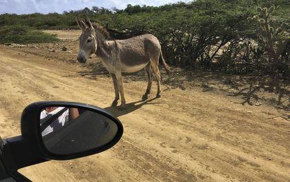 Loslopende geiten en wilde ezels vreten veel vegetatie weg, met erosie als gevolg. beeld Marius Bremmer