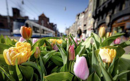 Tulpen in Amsterdam.beeld ANP, Robin van Lonkhuijsen