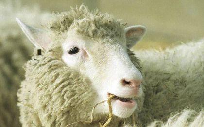 Het gekloonde schaap Dolly bleek uiteindelijk even gezond als andere schapen. Deze foto is genomen op 3 februari 1997 in het Roslin Institute in Edinburgh.beeld AFP, Colin McPherson