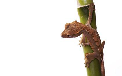 De gekko. beeld iStock