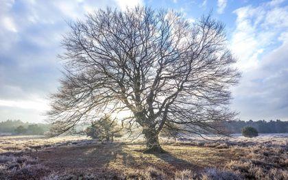 De beuk in de winter. beeld Jacob Kaptein