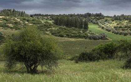 """""""In Leviticus gaat het om een sociale samenleving: de armen mogen gebruik maken van de niet gemaaide stukken akker en van de druiven die zijn achtergebleven in de wijngaard.""""beeld iStock"""