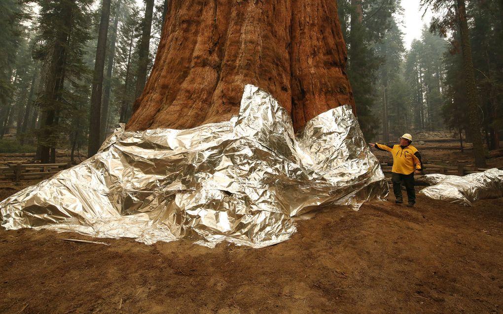 General Sherman, een mammoetboom, netjes ingepakt tegen het oprukkende vuur. beeld AFP, Gary Kazanjian