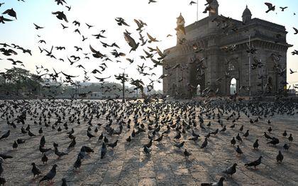 In Bombay nemen duiven bezit van de straten, waar het rustig is door de coronacrisis. beeld AFP, Punit PARANJPE
