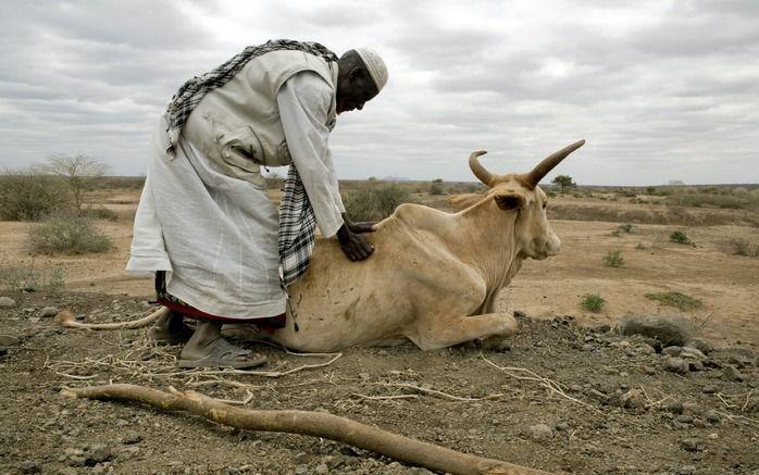 Door de extreme droogte in Oost-Afrika bezwijkt veel vee. Het klimaat is volgens de inwoners van streek. In maanden dat het normaal regent, blijft het droog. In de winters blijft de koude uit. Foto EPA