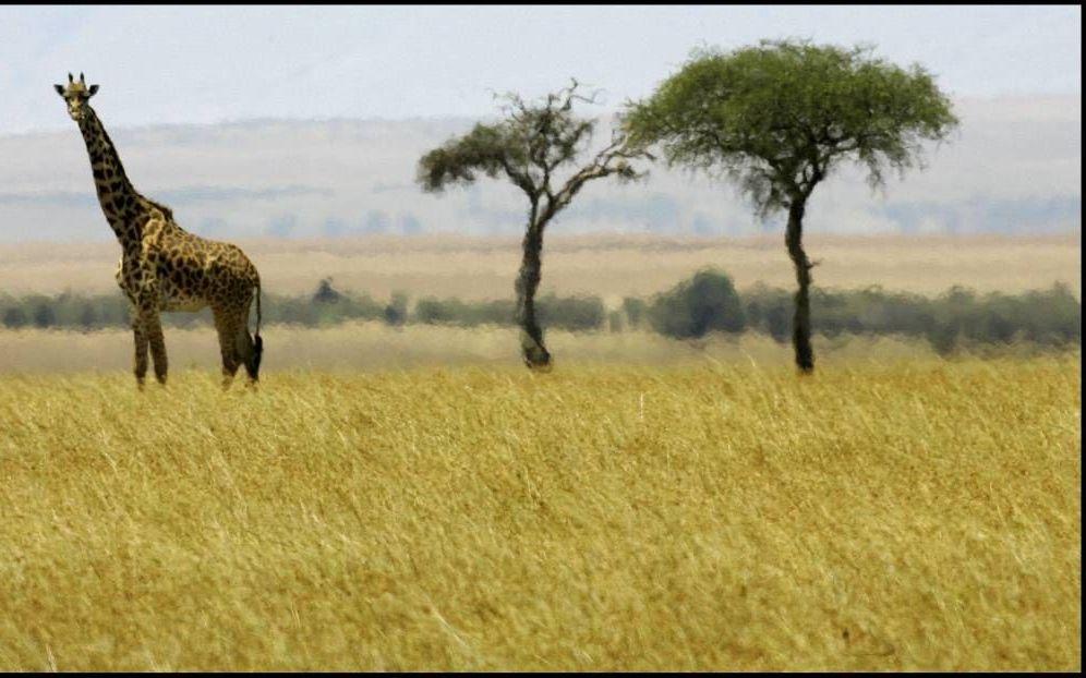 Twee acacia's verheffen zich boven het vlakke landschap van de Afrikaanse savanne. Foto ANP