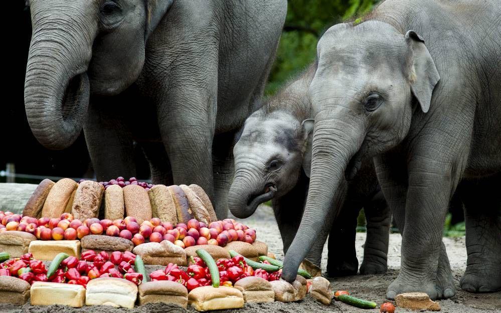 Olifantje Nhi Linh werd tijdens haar eerste verjaardag in diergaarde Blijdorp met haar familie getrakteerd op een grote groententaart. beeld ANP